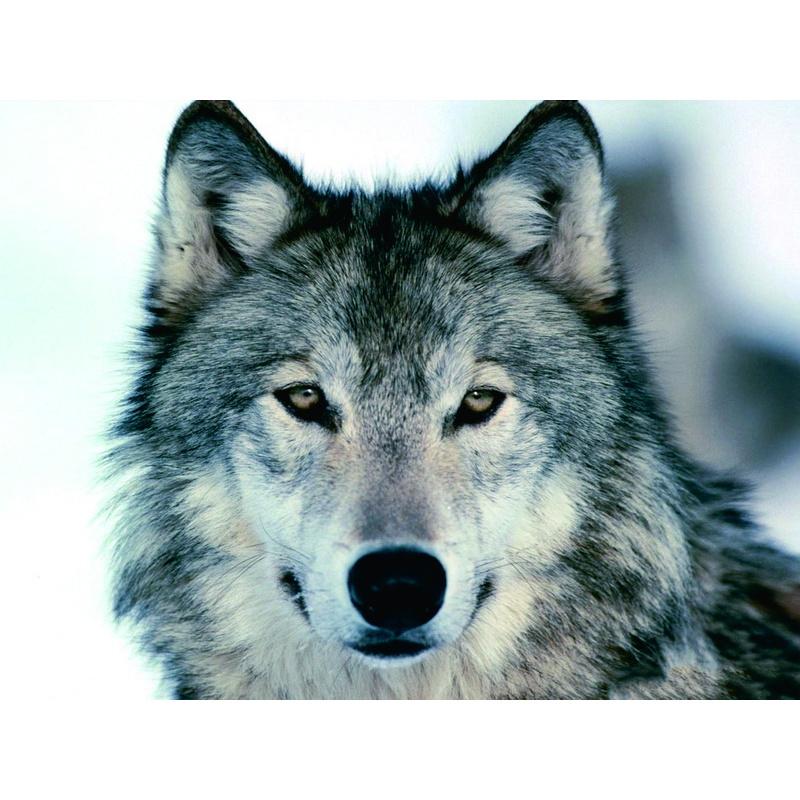 Открытка, красивые картинки волков с надписями
